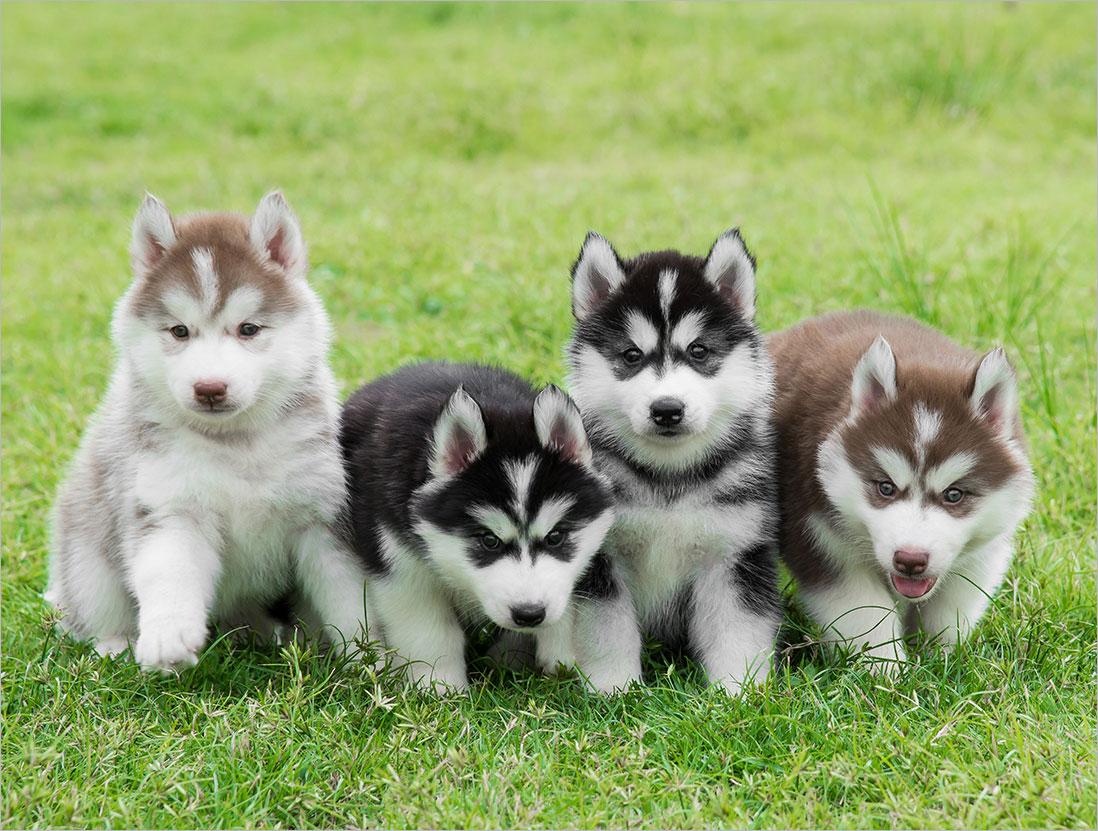 Cách chăm sóc, nuôi dưỡng và huấn luyện chó Husky đơn giản